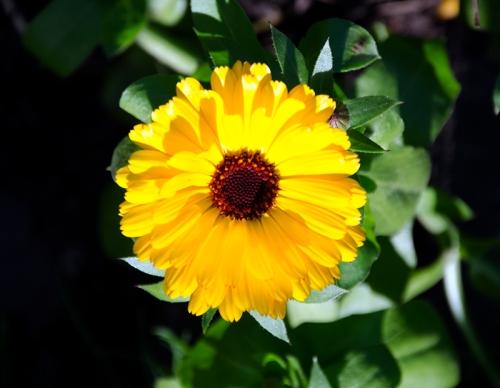 marigold (11)
