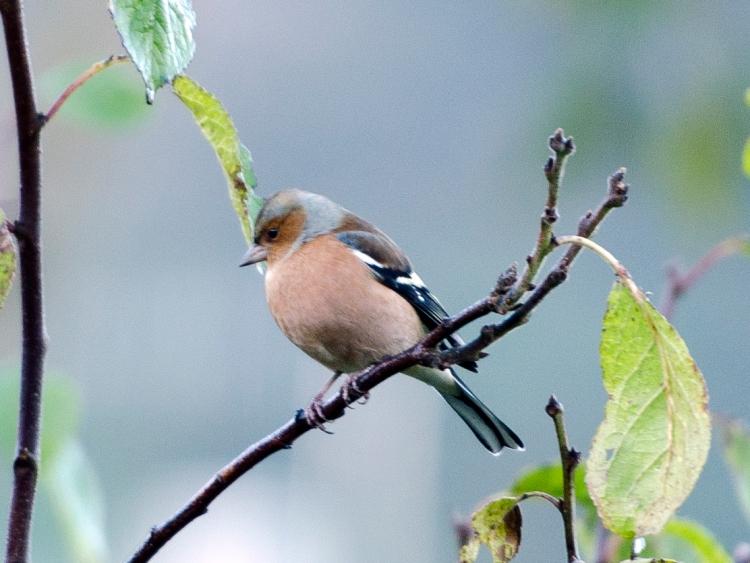 perching chaffinch (24)