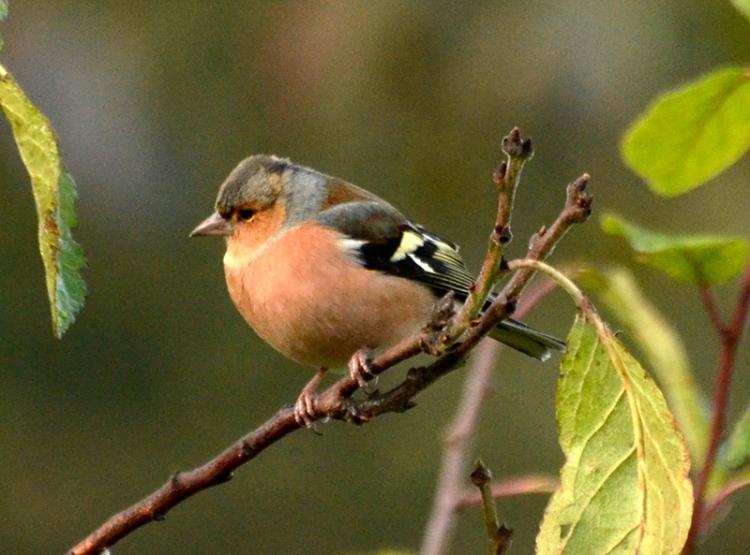 perching chaffinch (25)