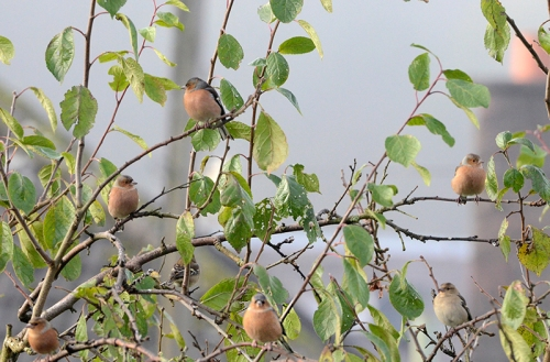 perching chaffinches (3)