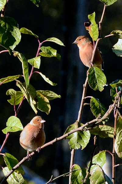 perching chaffinches postcard