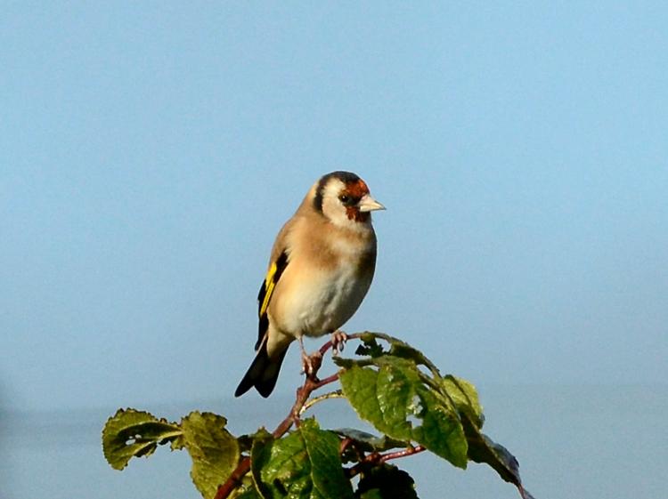 perching goldfinch (4)
