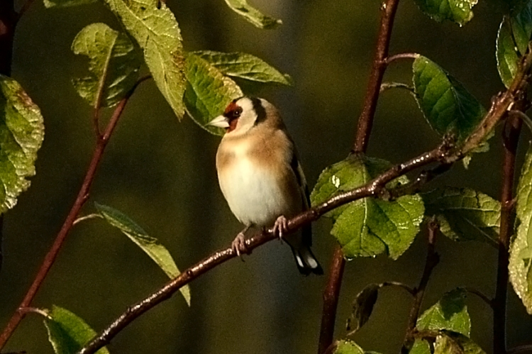 perching goldfinch (5)