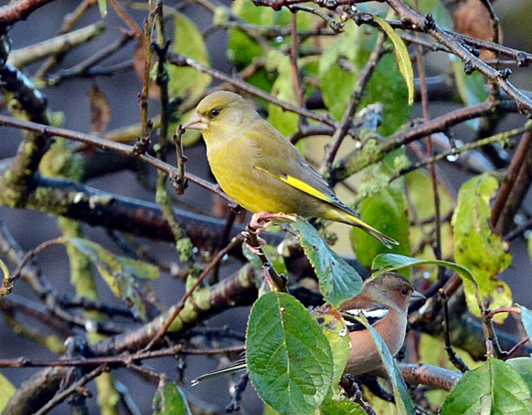 perching greenfinch