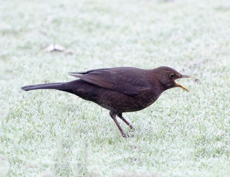 screaming blackbird