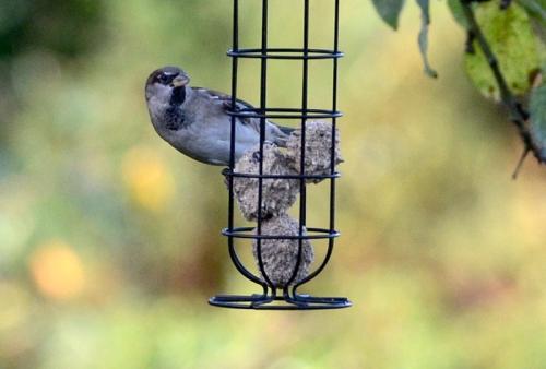 sparrow on fatball