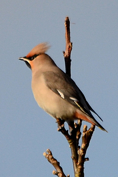 waxwing for postcard