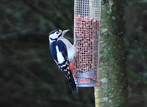 woodpecker (26)