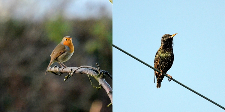 robin and starling