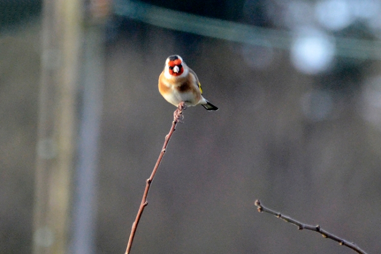 goldfinch on top twig