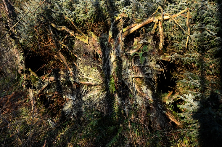 roots of conifer