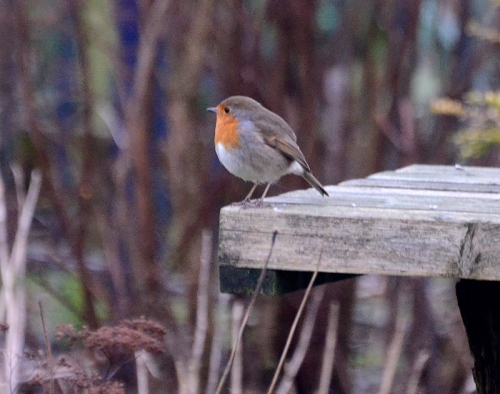 robin on bird table