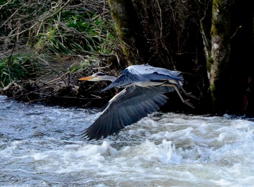 heron flying