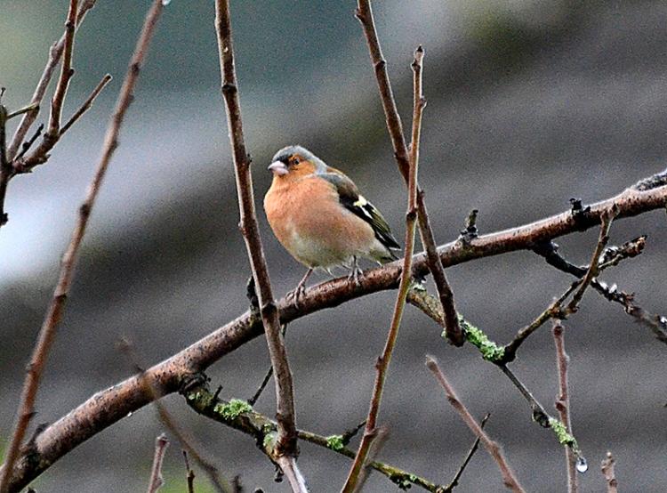 perching chaffinch