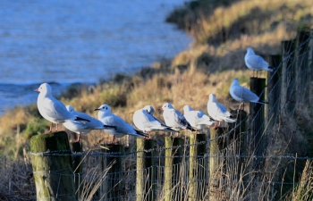 Gulls along the Esk