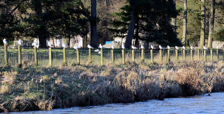Gulls along the Ewes