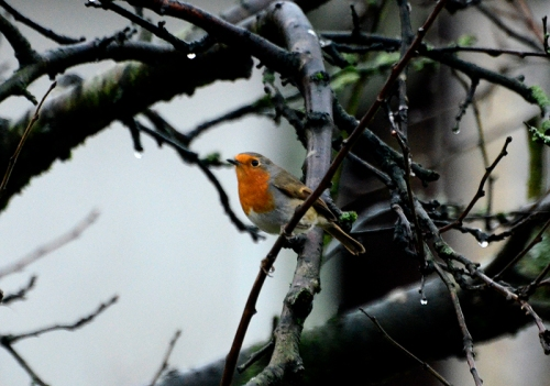 robin in  plum tree