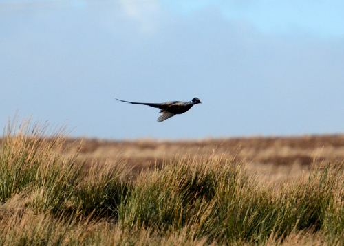 flying pheasant
