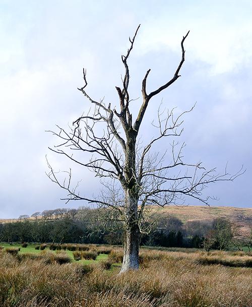 tree at hallcrofts