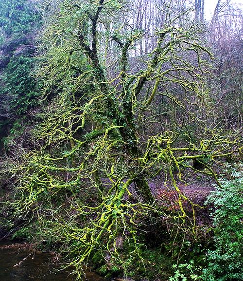 Mossy tree  by school