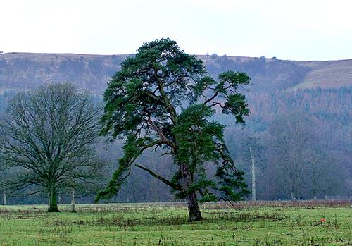 Pheasant hatchery tree