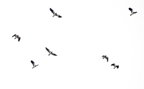Solway birds