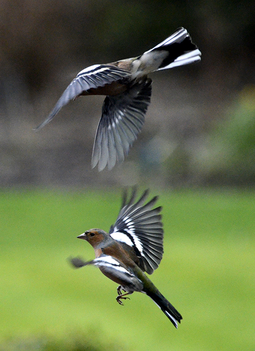 formation chaffinches