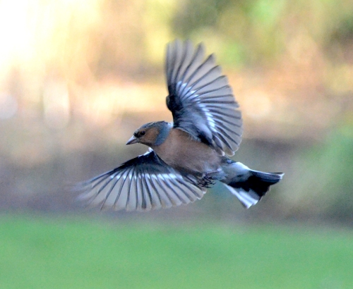 flying chaffinch