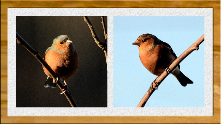 perching chaffinches