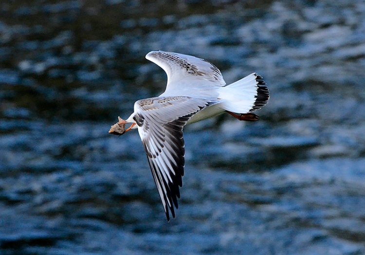 gull with bread
