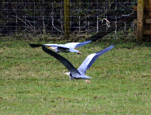 flying herons