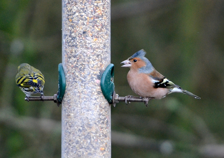 There was an odd siskin or two about.  I liked the chaffinch's hair stylist's work a lot.