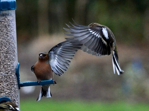chaffinches brush off