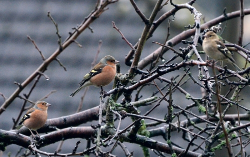 chaffinches on the plum tree