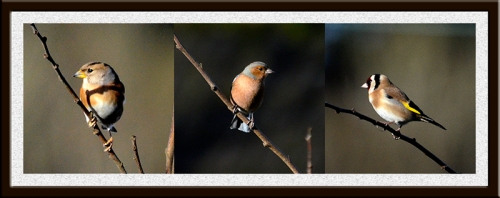 brambling, chaffinch and goldfinch