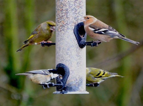 greenfinch, chaffinch, siskin and coal tit