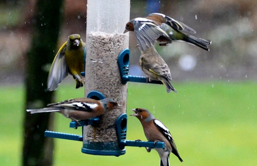 chaffinches etc