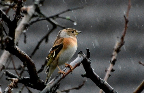 brambling in the rain