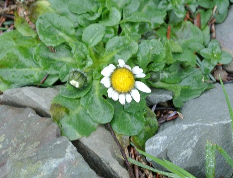 daisy in January