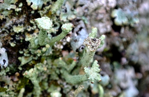 Cladonia digitata,