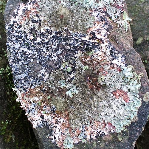 callister lichen