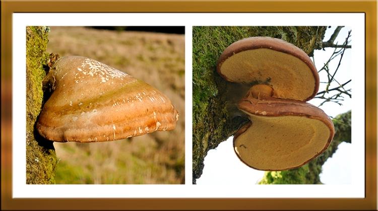 birch polypores