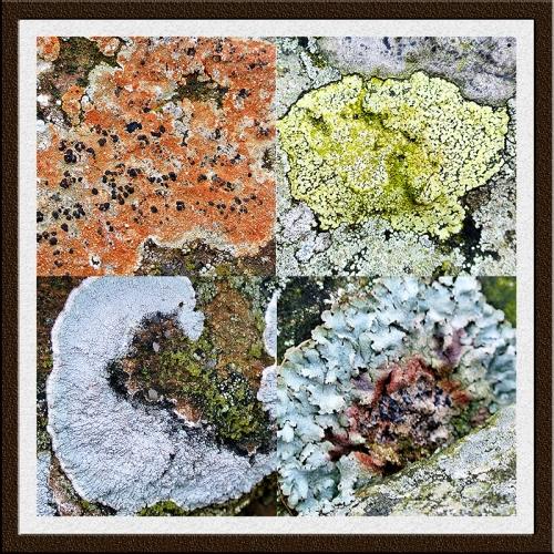 lichens on wall near Breconwrae