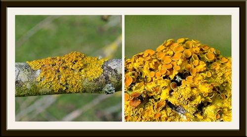 Sensational lichen