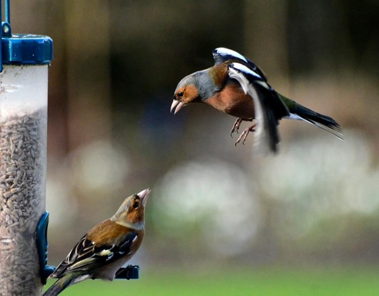 chaffinches bickering