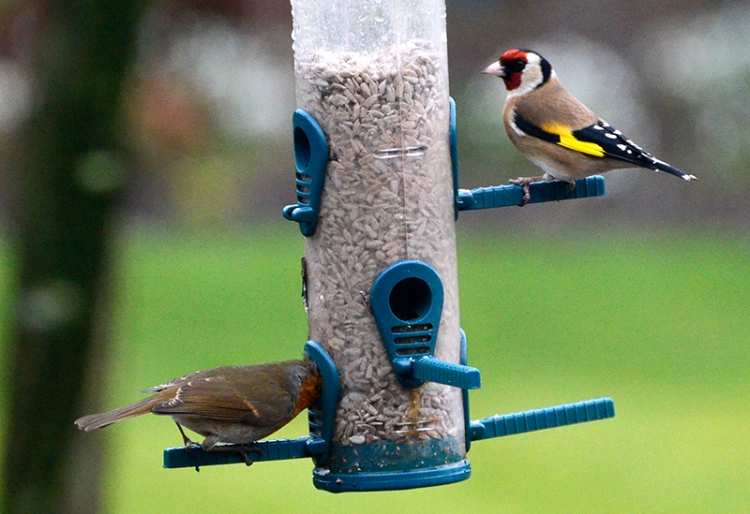robin and goldfinch