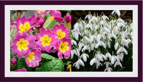 snowdrops and primroses