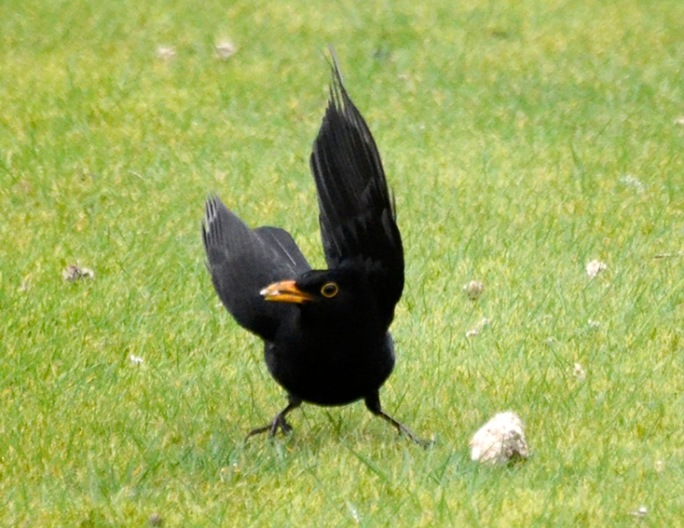 blackbird happy