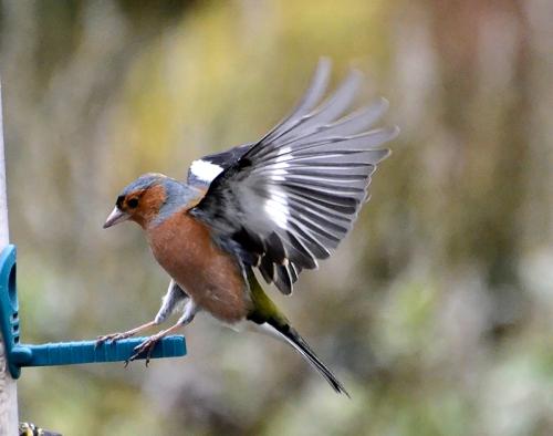 landing chaffinch
