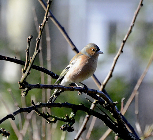 perching chaffinch